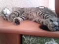 Нужен британский кот для вязки.
